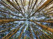 Лес красной сосенки смотря вверх Стоковое Фото