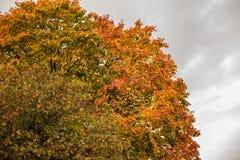 Лес клена в сезоне осени стоковые фотографии rf