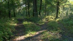 Лес на восходе солнца - съемка steadicam сток-видео