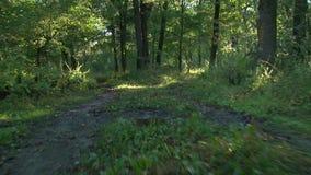 Лес на восходе солнца - съемка steadicam акции видеоматериалы