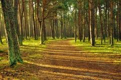 Лес на зоре  Стоковое Фото