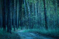 Лес ночи загадочный с рощей березы и высокими соснами стоковые фото