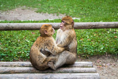 Лес обезьяны - целующ Стоковое фото RF
