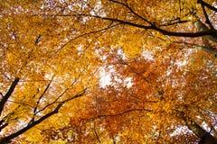 Лес осени, деревья с их типичным желтым цветом листвы, лес листвы текстуры предпосылки стоковые фото