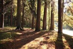 Лес осени елевый Стоковые Изображения