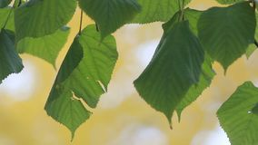 Лес осени - зеленая осина выходит на фоне парка осени Ландшафт осени, золотая осень сток-видео