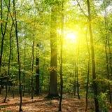 Лес осени, листья желтого цвета и заход солнца стоковое фото rf