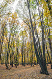 Лес осени на заходе солнца Стоковые Фотографии RF