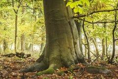 Лес осени с большим деревом бука стоковые фотографии rf