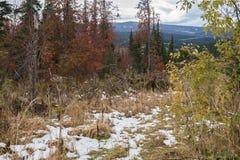 Лес осени с рябиной и первым снегом Стоковая Фотография