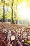 Лес осени с Солнцем и заревом стоковое фото rf