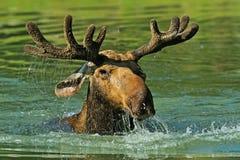 Лес лося Стоковая Фотография RF