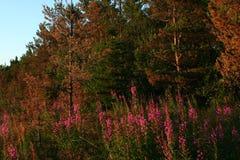 Лес, одичалые полевые цветки сосен Стоковая Фотография RF