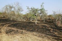 Лес одичалый после огня Стоковая Фотография RF