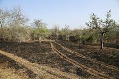 Лес одичалый после огня Стоковые Изображения RF