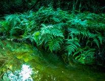 Лес папоротника в глубоких джунглях Стоковые Изображения RF