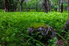 Лес папоротника и мшистый утес Стоковое фото RF