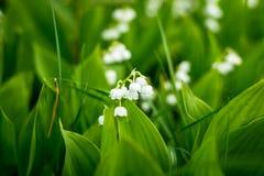 Лес, полевые цветки чувствительные цветки против предпосылки соснового леса в мае и апреле ландшафта фокуса поля дня облаков сини Стоковая Фотография RF