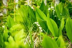 Лес, полевые цветки чувствительные цветки против предпосылки соснового леса в мае и апреле ландшафта фокуса поля дня облаков сини Стоковые Фото