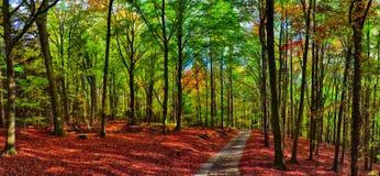 Лес/полесье деревьев бука с дорогой гравия на дневном свете после полудня осени стоковые фотографии rf