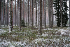 Лес после светлых снежностей Стоковая Фотография