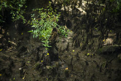 Лес, свет и тень мангровы Стоковые Фотографии RF