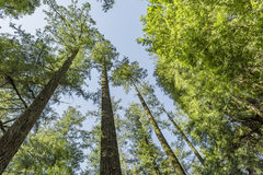 Лес секвойи Стоковое фото RF
