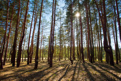 Лес сосенки весной или лето стоковая фотография