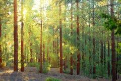 Лес сосенки Стоковая Фотография