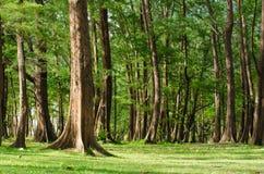 Лес сосенки Стоковое фото RF