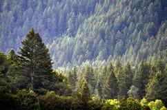 Лес сосен и гор Стоковое Изображение