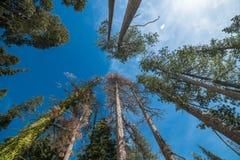 Лес сосен против голубого неба в национальном парке Yosemite Стоковая Фотография