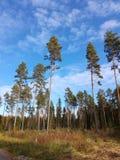Лес сосновой древесины дерева lanscaoe природы bluesky Стоковые Изображения RF
