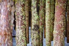 Лес сосны в зиме Стоковые Фотографии RF