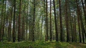 Лес сосны и березы на теплый летний день сток-видео