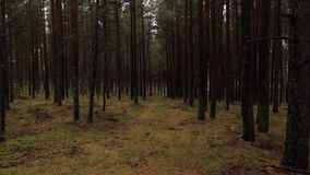 Лес сосны на вертеле Curonian видеоматериал