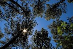 Лес сосны под звездообразным солнцем Стоковые Изображения RF