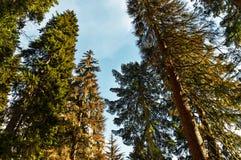 Лес сосны против голубого неба с днем света солнца весной Стоковые Фотографии RF