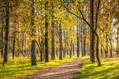 Лес сосны Стоковая Фотография