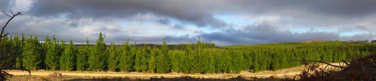 Лес сосны Стоковое фото RF