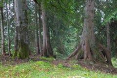 Лес спруса Альпов Стоковая Фотография