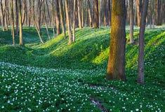 Лес с белыми цветками Стоковая Фотография