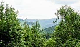 Лес с елями Стоковая Фотография RF