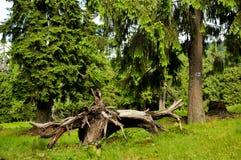 Лес с елями Стоковые Фотографии RF