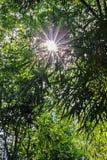 Лес с золотым солнечным светом Солнце излучает через ветви бамбуковых деревьев Стоковая Фотография RF