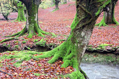 Лес с корнями и потоком дерева Стоковая Фотография