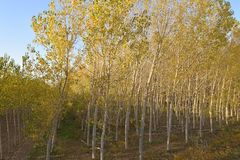 Лес тополя на реке Po - Италии 04 Стоковые Фото