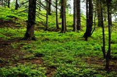 Лес, трава и ели Стоковая Фотография