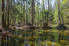 Лес трясины ольшаника весеннего времени Стоковые Изображения RF