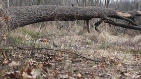 Лес Украина (скольжение) сток-видео